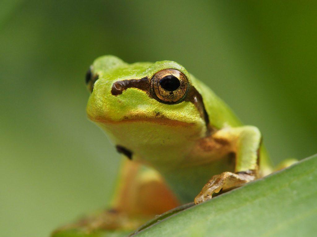 夢占いカエルの夢14種 緑色のかえるは健康運アップ 泳ぐは吉夢